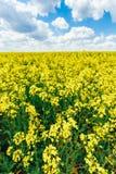 Blå sky för grönt fält Försommar som blommar rapsfröt oilseed Arkivbilder