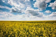 Blå sky för grönt fält Försommar som blommar rapsfröt oilseed Royaltyfria Bilder