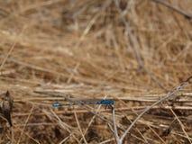 blå slända Arkivfoto