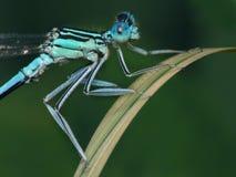 blå slända Royaltyfria Bilder