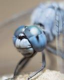 blå slända Royaltyfri Bild