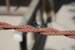blå slända fotografering för bildbyråer