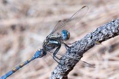 blå slända Arkivfoton
