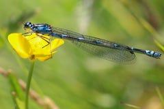 blå slända Royaltyfri Fotografi