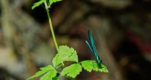 Blå slända - fluga på ett blad stock video