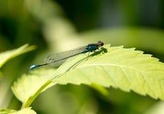 Blå slända på en grässtjälk Royaltyfri Foto