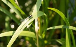 Blå slända på en grässtjälk Arkivbilder
