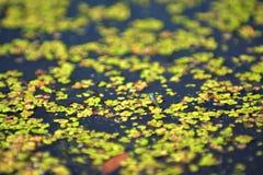 Blå slända på en sjö Royaltyfri Foto
