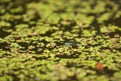 Blå slända på en sjö Royaltyfri Fotografi