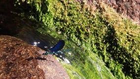 Blå slända på en sten, bredvid en vattenfall stock video