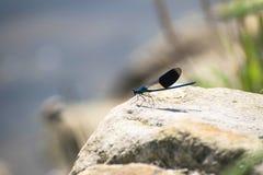 Blå slända på en vagga nära flodsidan Med djup av fältbakgrund Fotografering för Bildbyråer