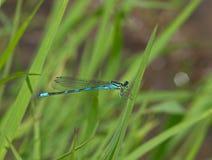 Blå slända på ett gräs Royaltyfri Foto