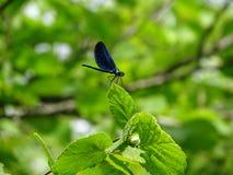 Blå slända som dras på ett blad fotografering för bildbyråer