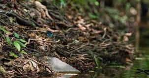 Blå slända som spelar över vattnet stock video