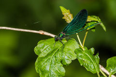Blå sländaCalopteryx virgo Royaltyfri Bild