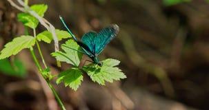 Blå sländafluga från en leafin och fluga ut från ett blad lager videofilmer