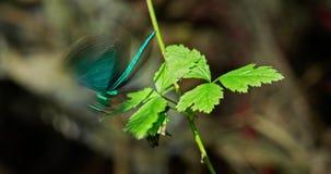 Blå sländafluga från ett blad arkivfilmer