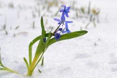 Blå snödroppe i en snö Arkivbild