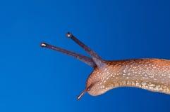 blå snail arkivbilder