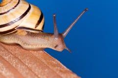 blå snail Royaltyfri Foto