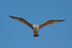 blå soaring för seagullsky Royaltyfria Foton