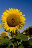 blå solros Arkivfoton
