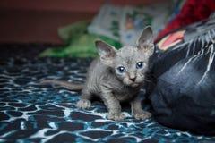 Blå sphynxkattunge på ett mörker - blå bakgrund Royaltyfri Fotografi