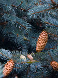blå spruce royaltyfri foto