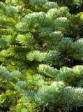 blå spruce Arkivbilder