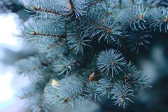 Blå spruce filial arkivbilder