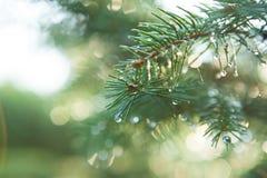 Blå Spruce med droppar av dagg arkivfoto