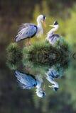 blå stor heron Royaltyfria Bilder