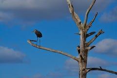 blå stor heron för fågel Royaltyfria Bilder