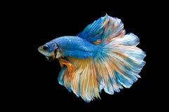 Blå stridighetfisk royaltyfri fotografi