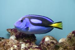 Blå surgeonfish - Paracanthurus hepatus royaltyfri bild