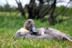Blå svensk Duck Female Arkivbild