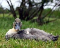 Blå svensk Hen Sitting Royaltyfri Foto