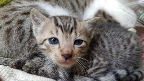 blå synad kattunge Royaltyfri Bild