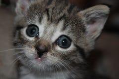 blå synad kattunge arkivbild