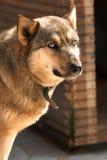 blå synad vakthund Royaltyfria Bilder