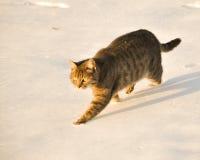 Blå tabbykatt som går i snow Arkivfoton