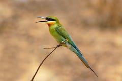 blå tailed eatermeropidae för bi Royaltyfri Bild