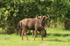 blå tjurwildebeest Royaltyfri Foto