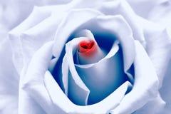 blå tonad förälskelserose för födelse Arkivfoto