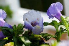 Blå Torenia blommamakro Royaltyfria Foton
