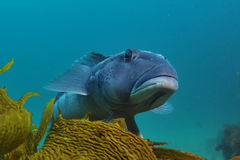 Blå torsk på brunalg Arkivbilder