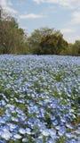 Blå trädgård för lösa blommor som blommar för vår Royaltyfri Fotografi