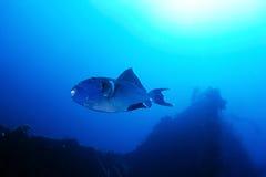 Blå triggerfish Royaltyfria Bilder