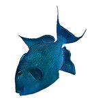 Blå triggerfish Fotografering för Bildbyråer