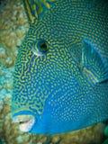 blå triggerfish royaltyfri fotografi